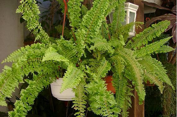 Conservar los helechos atractivos y elegantes for Plantas ornamentales helechos