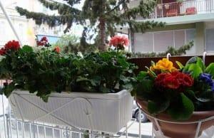 Jardinería: flores nuevas para balcones y jardines
