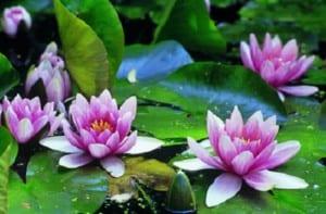 Jardinería: plantas acuáticas ornamentales