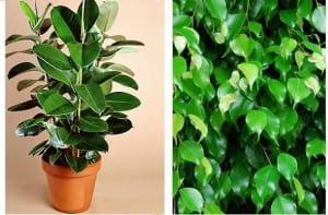 Cómo cuidar las plantas: el ficus