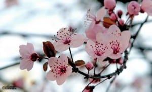 Almendro florido
